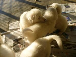 8 cuccioli maremmano