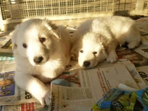 due cuccioli maremmano